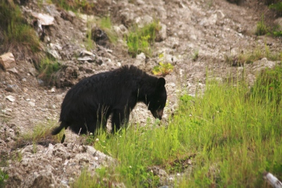 Black bear  and yes they do