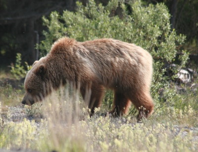 Brown bear Yukon area