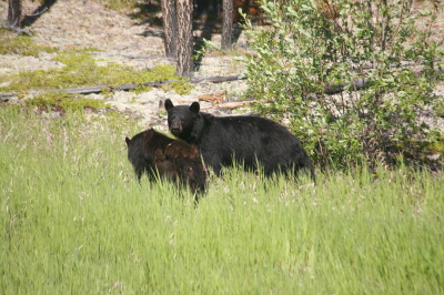 Black bear and cub Yukon River area Alaska