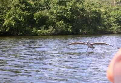 Landing Pelican San Sebastion River Florida
