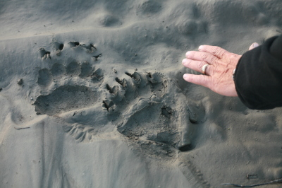 Brown bear prints in mud on one of the islands we camped on. Nightly visitors.