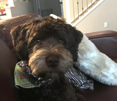 """Monty"" (schnoodle)"