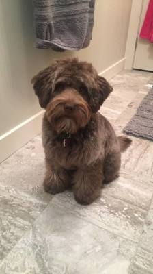 (Schnoodle)