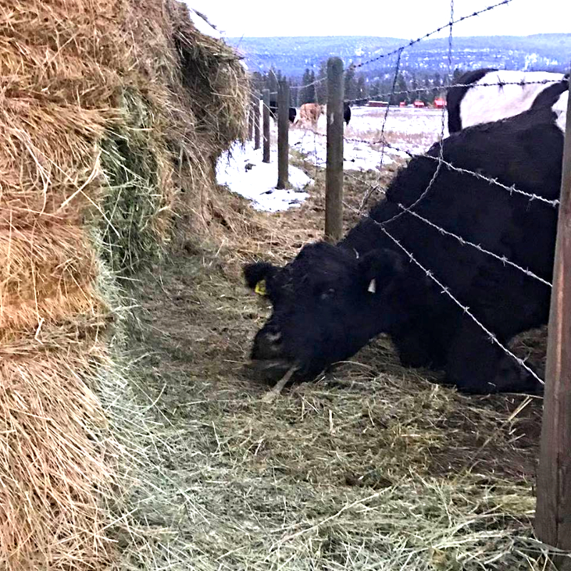 Busted! Hay thief!