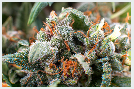 Understanding Cannabis Strains -Indica and Sativa Strains