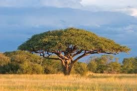 6 Feb: Sally Archibald: Lollipops vs Umbrellas - Why Savanna Trees Differ