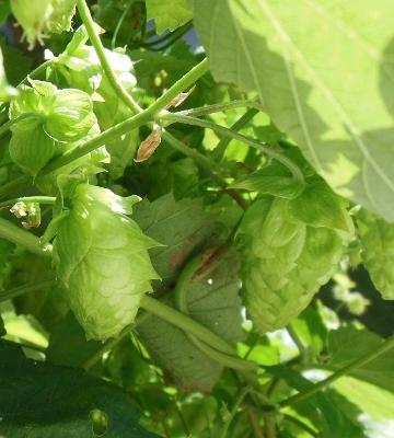 Hops Growing - Wet Hopped Beer?