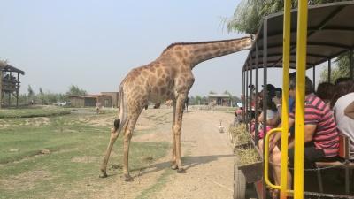 safari Rancagua