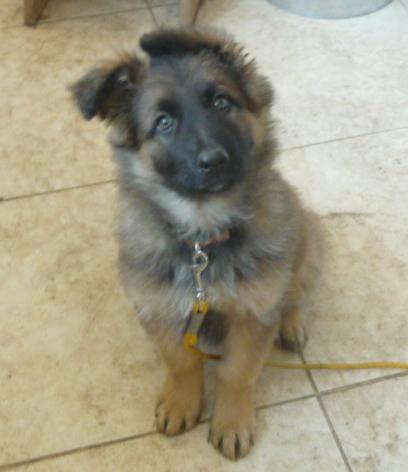 Sable, long coat German Shepherd puppy out of a previous breeding