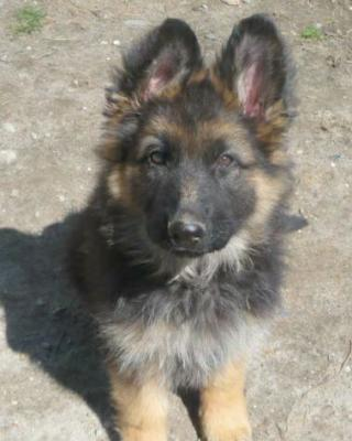 A long coated puppy out of a previous breeding