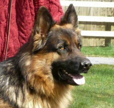 Finn, an available black and red long hair male GSD