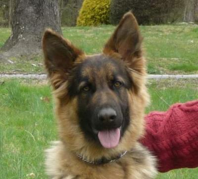Indie, an available long coated German Shepherd female