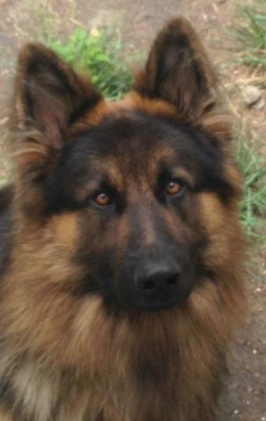 Nieko, our stud dog, a long hair black and red German Shepherd dog