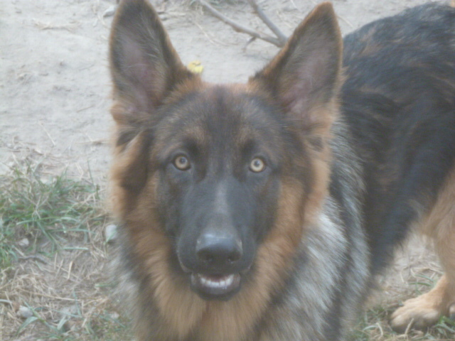 Luka, a longcoat GSD who is our current dam