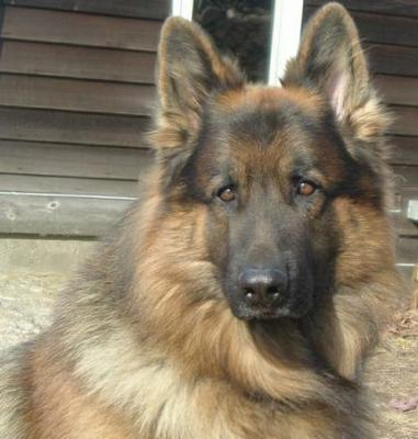 Diego, a majestic black and red longcoat male German Shepherd dog