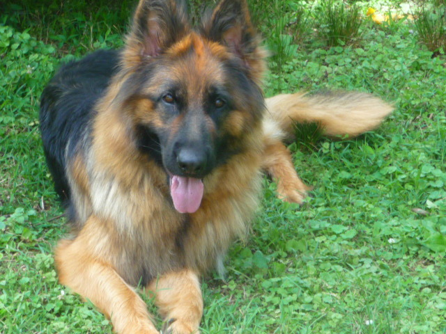 Cia, a very longcoated black and red female GSD