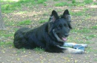 Venus, our first breeding female. A beautiful black and silver long haired dog