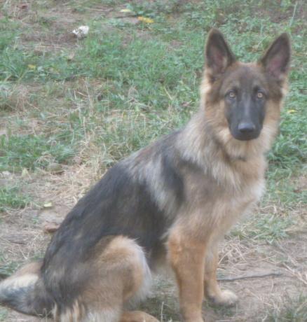 Luka sitting, a long coat German Shepherd female