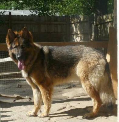 Luka, a long coated, sable German Shepherd female