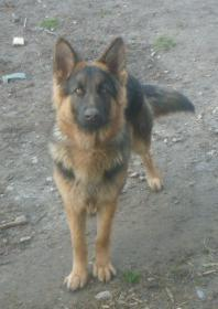 Indie, a long hair/long coat available GSD female