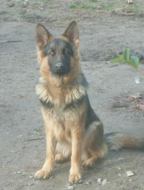 Front sitting picture of Indie, a 1 1/2 year old German Shepherd female, longcoated/ long hair.
