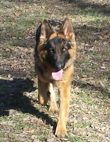 Long hair/ longcoat available, black and red German Shepherd female, 18 months old