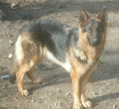 Available 1 1/2 year old longcoat, long haired female German Shepherd dog
