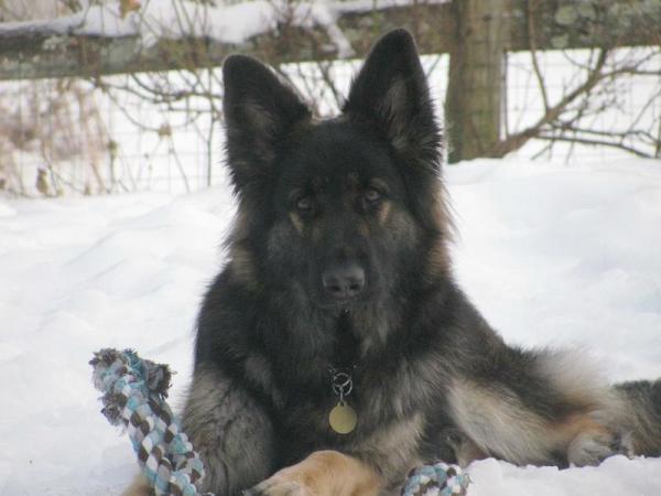 Heidi, black sable longcoat German Shepherd female, 6 years old