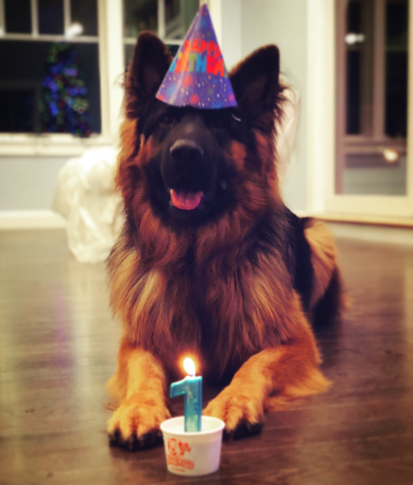 Black and red long hair GSD male celebrating birthday with candle