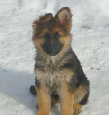 4 month old German Shepherd puppy black and tan