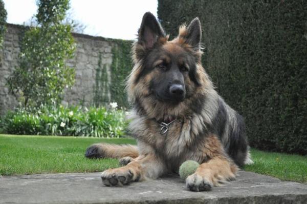 Tilda, a sable longcoat female German Shepherd 3 years old