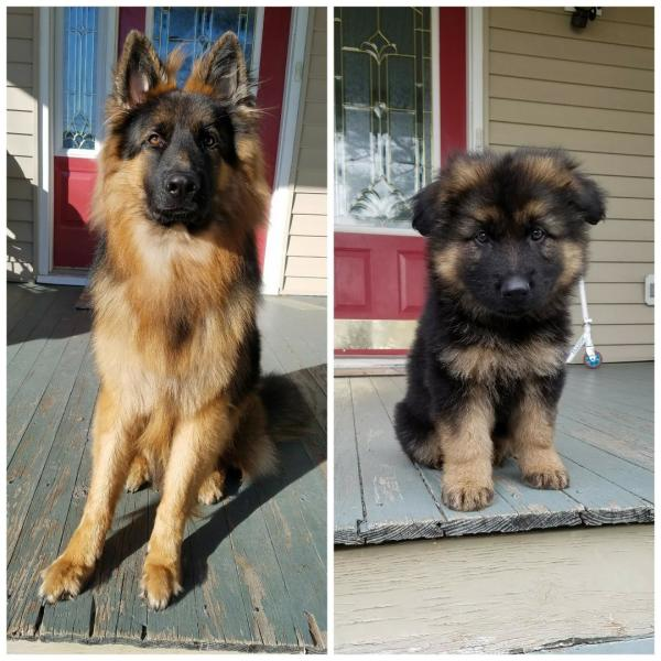 Long haired German Shepherd male at 12 months and at 8 weeks