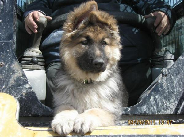 4 month old GSD puppy longcoat joining his owner at work