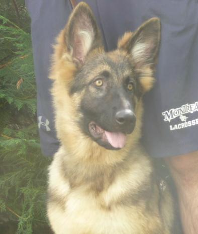 Golden sable longcoat GSD female, 4 months old