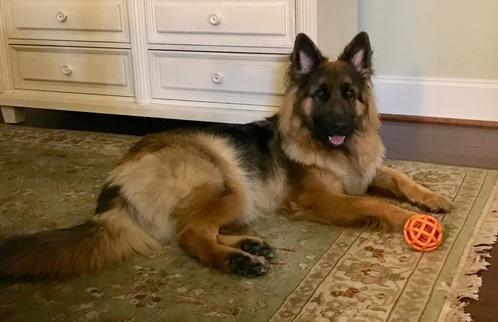 Long hair German Shepherd, black and tan, lying in the diningroom with toy