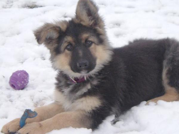 Anika, a longcoated GSD female lying in the snow with her toy
