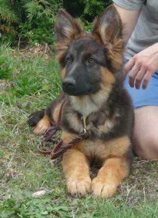 Calm, yet alert longcoat 4 month old German Shepherd female