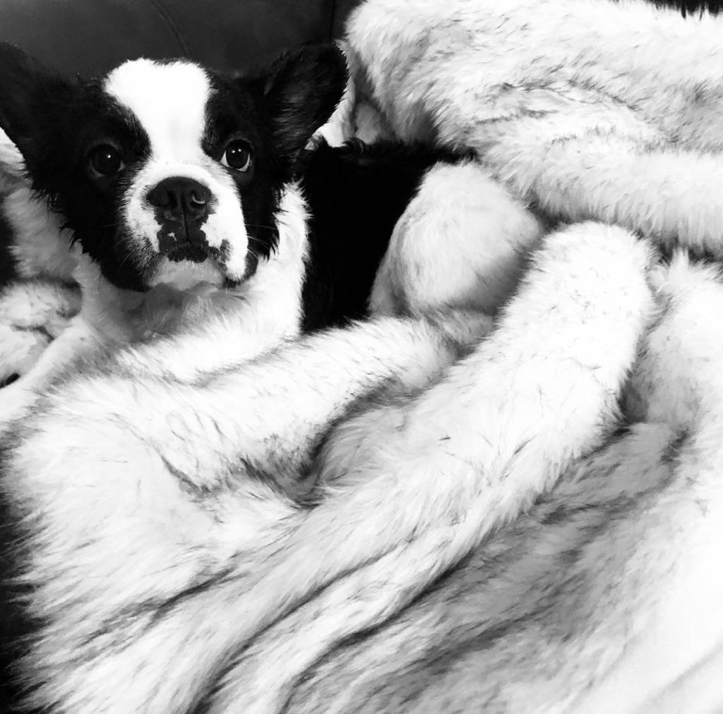 #FluffyFrenchBulldog #FluffyFrienchie #FrenchBulldogPuppy #RareFrenchiePuppy