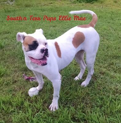 American Bulldog - Ellie Mae