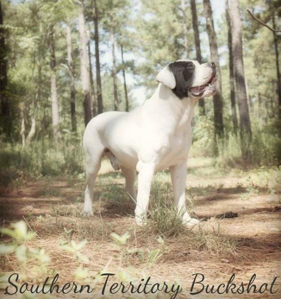 American Bulldog Puppies Georgia