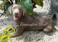Silver Lab Remington Steel