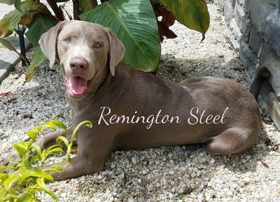 Silver Labrador Retriever - Remington Steel