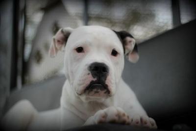 American Bulldog - Sweet Thang