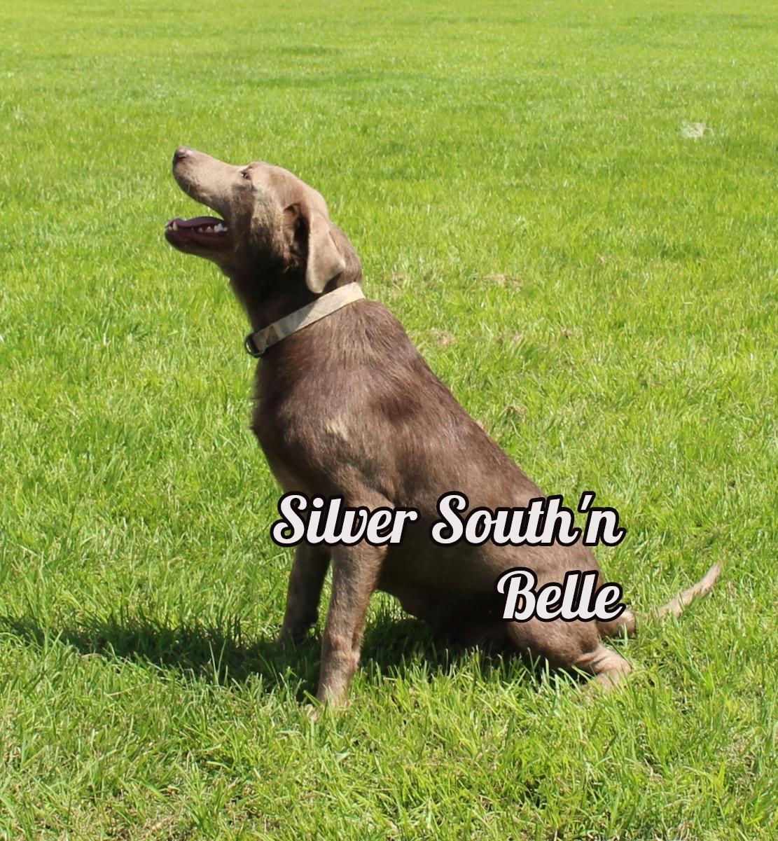 Silver Labrador Retrievers
