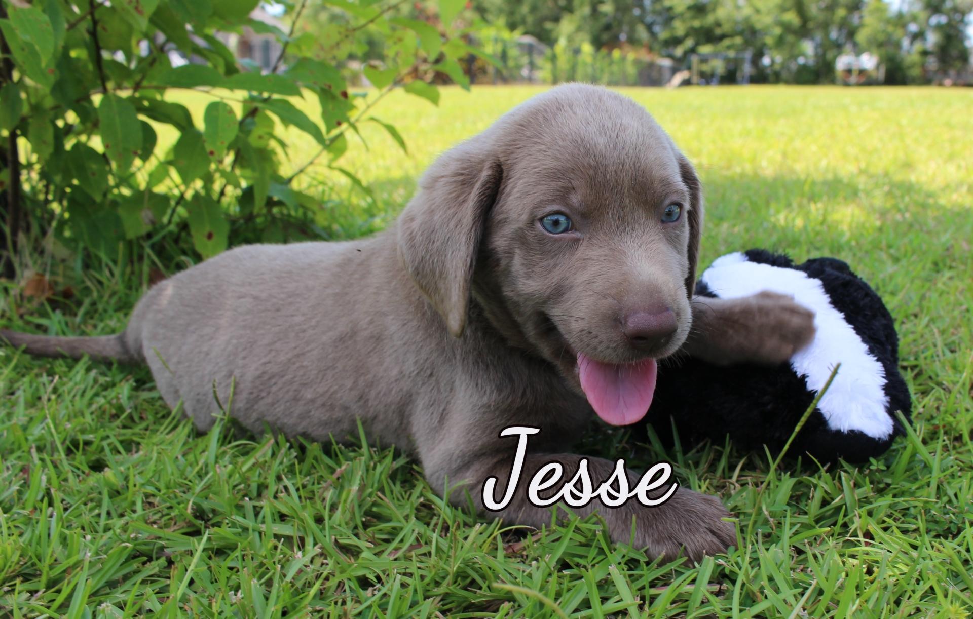 Silver Labrador Retriever Puppy For Sale