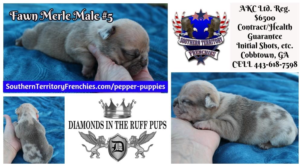 Fawn Merle Male #5 French Bulldog Puppy