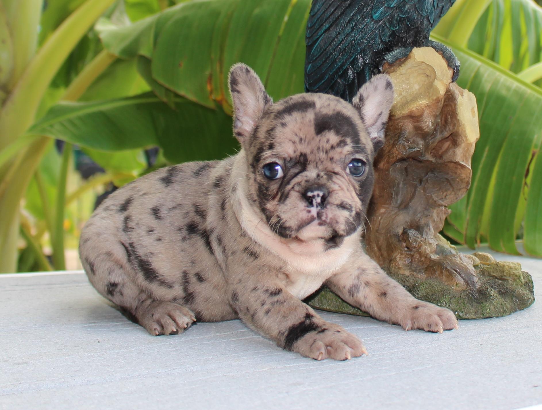 #FrenchBulldogPuppies #MerleFrenchBulldogPuppies