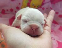 #FrenchieBulldogPuppy #Frenchie