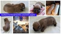 #FrenchBulldogPuppy #Frenchie #FrenchBulldog