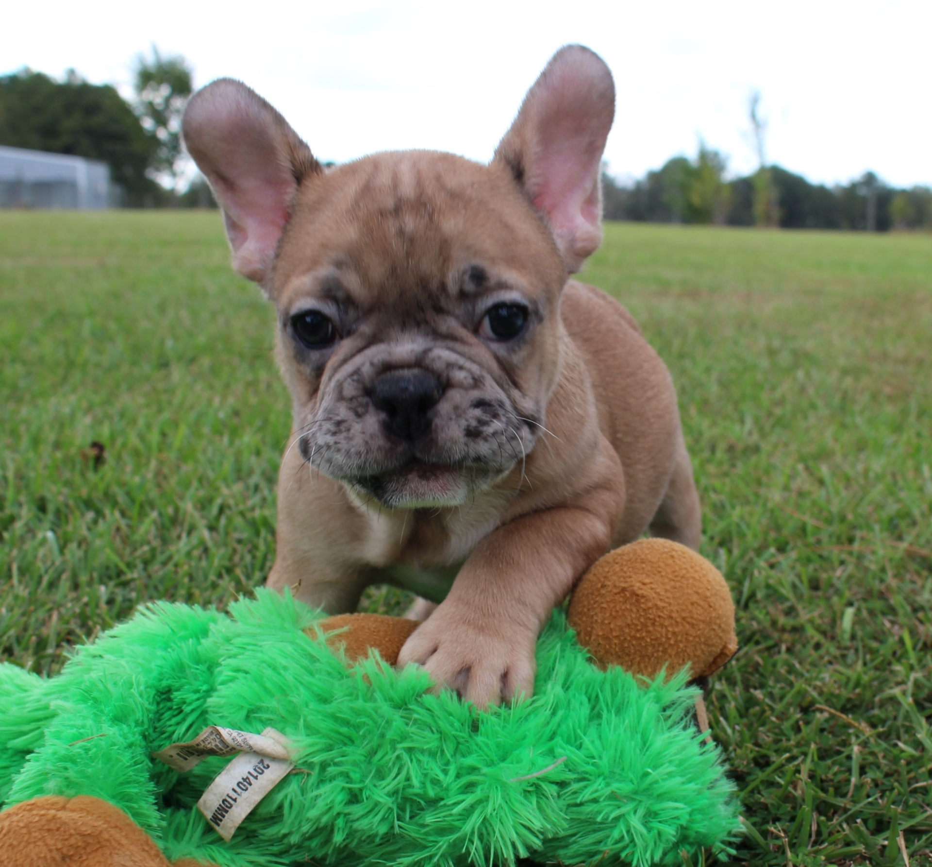 #FrenchBulldogPuppies #MerleFrenchBulldogPuppies #Frenchies